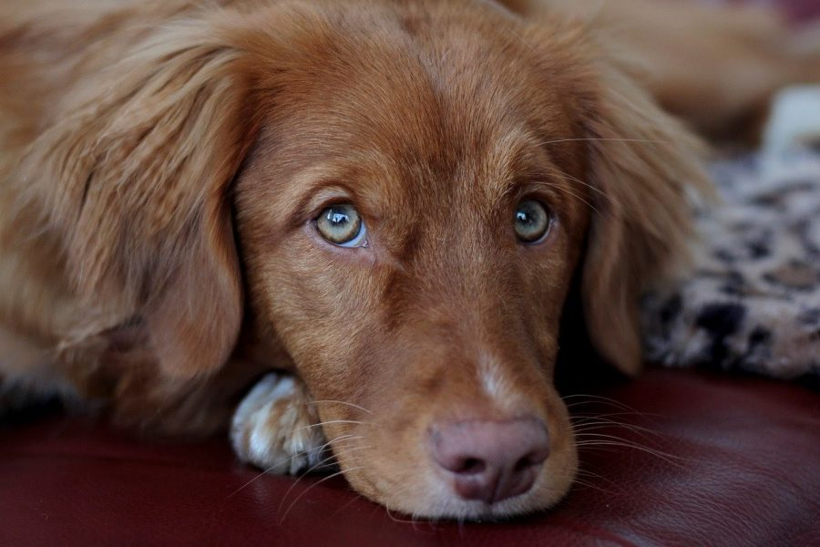 A picture of a Nova Scotia Duck Tolling Retriever looking at the camera with puppy eyes.